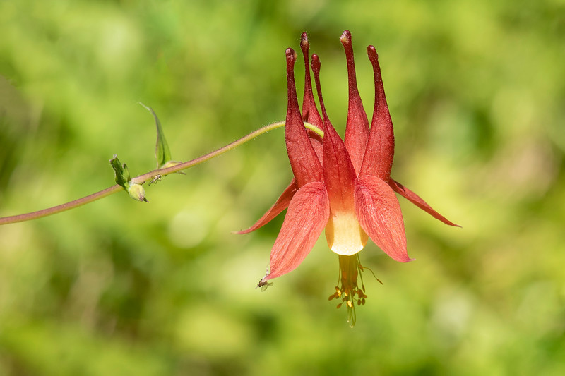 Columbine is one of my favorite wildflowers.  I just think it has an interesting shape and makes a great photo subject.