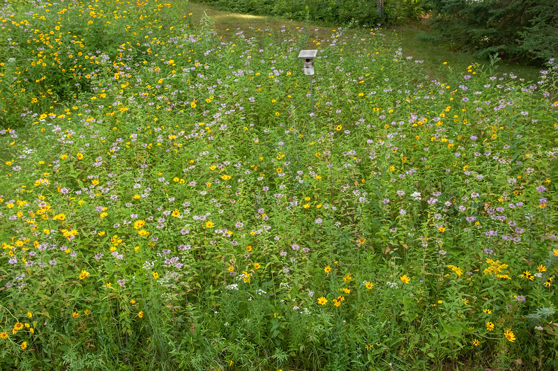 We have a wildflower garden at our lake home in northern Minnesota.  Right now, it is at the peak of flower production.