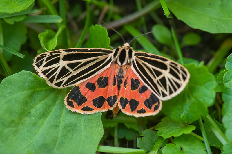 When the Virgin Tiger Moth spreads its forewings, it reveals its very colorful hind wings.  This moth has a wingspan of 2¼ inches.