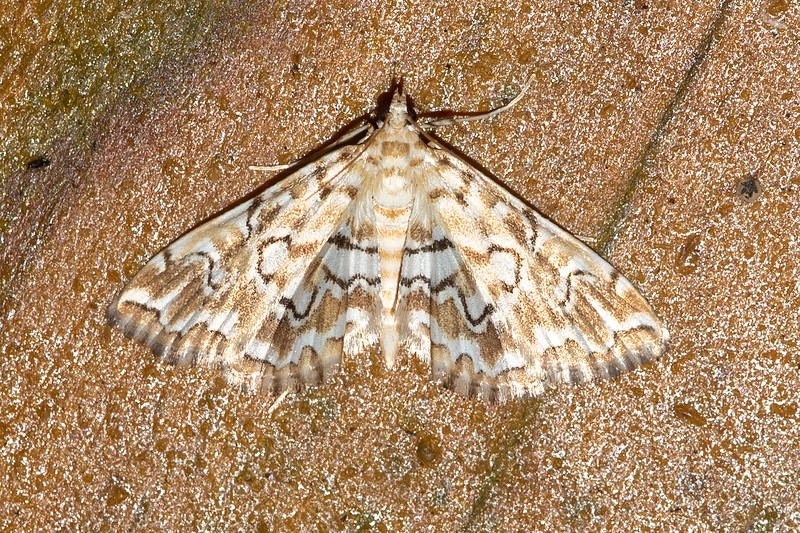A Pondside Pyralid Moth has intricately patterned wings.  An internet search found surprisingly little information about this species except that it has a wingspan of 5/8 to 1 inch.
