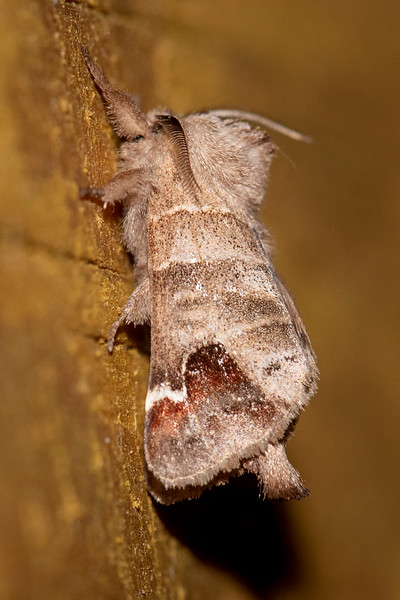 While most moths spread their wings flat when they land, some fold them in a tent shape like this Sigmoid Prominent.