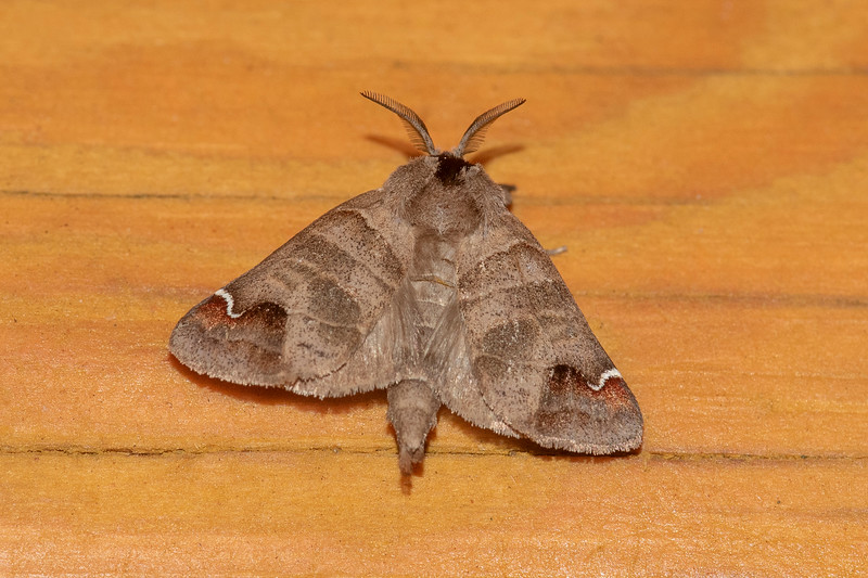 Here's a Sigmoid Prominent with its wings spread flat.  This gives a better view of the color pattern.  It has a wingspan of 1 1/8 to 1½ inches.