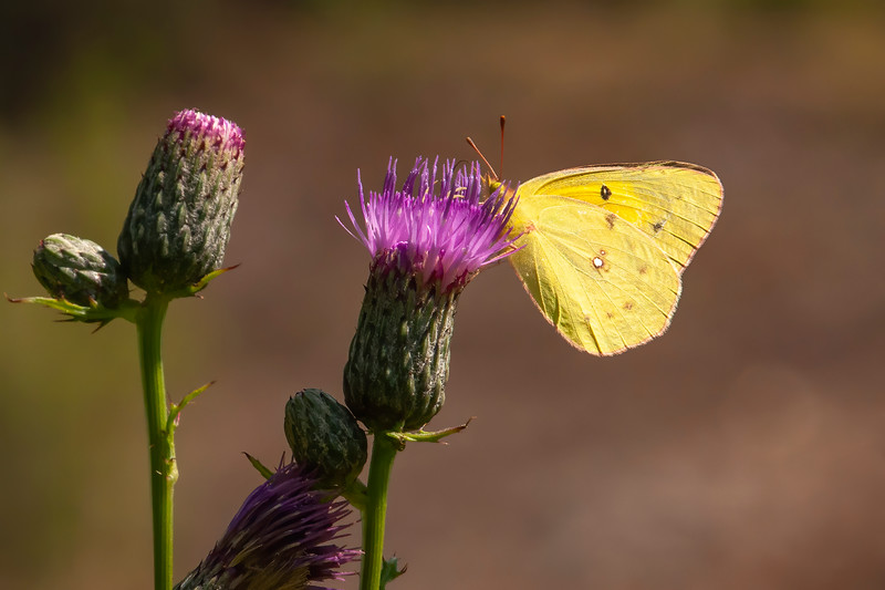 This is an Orange Sulphur butterfly perched on a thistle blossom.  It has a wingspan of 1½ to 2½ inches.