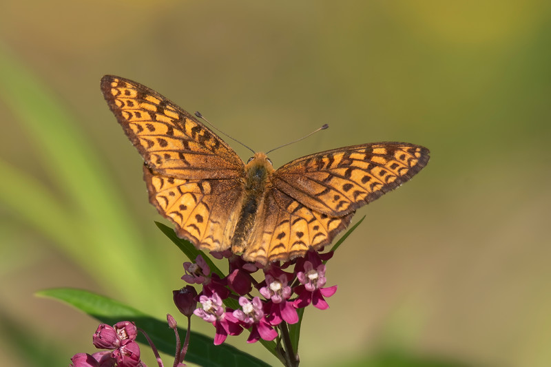 Great Spangled Fritillaries were quite common this year in our wildflower garden.  With a wingspan of 2½ to 3½ inches, they are not as large as Monarchs.