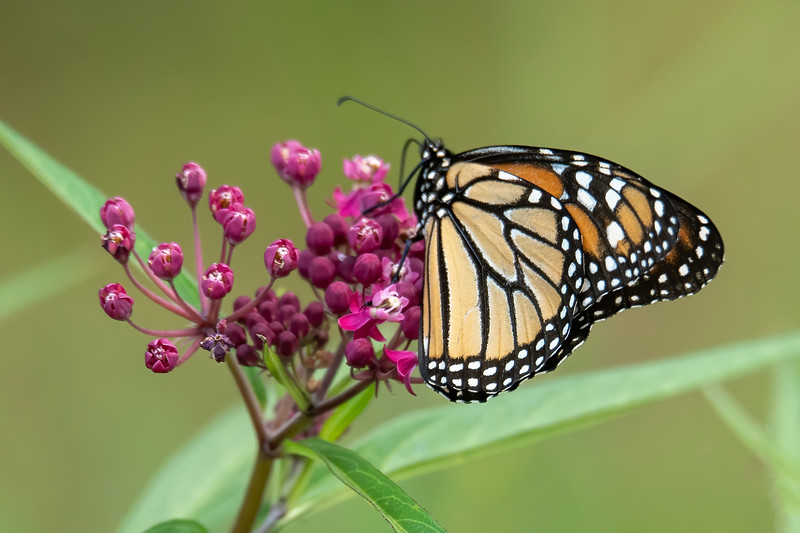 Many butterfly species have a different pattern on the upper and lower sides of the wings.  On the Monarch, the black lines seem very similar on both top and bottom, but the orange color is much lighter on the bottom side.