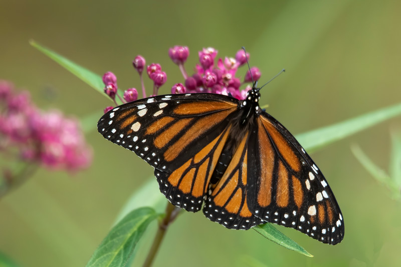 And, of course, this is an adult Monarch butterfly.  It is perched on a Swamp Milkweed plant.  Monarchs are often associated with Common Milkweed plants, but they seem to like Swamp Milkweed even better.  It has a wingspan of 3½ to 4½ inches.
