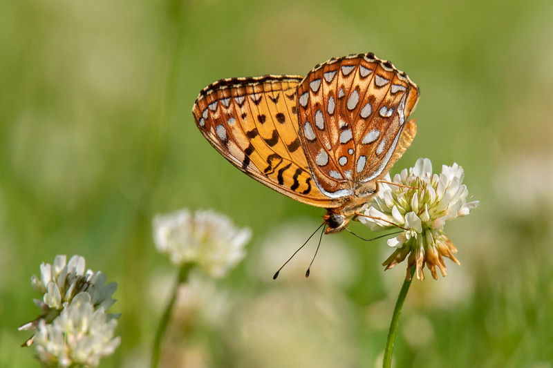 Here's a picture showing the underside of the Great Spangled Fritillary's wings.  This is a good example of a butterfly with a different pattern on the top and bottom sides of its wings.