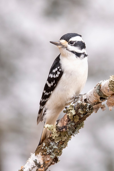 Hairy Woodpeckers have been consistent visitors to our feeders all year.