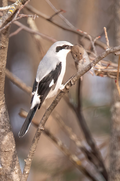 About a month ago, while we were driving up to our lake home, I spotted this Northern Shrike in a tree along the road.  By the time I turned the car around to get a photo, the shrike had flown down into the grass and captured this rodent.