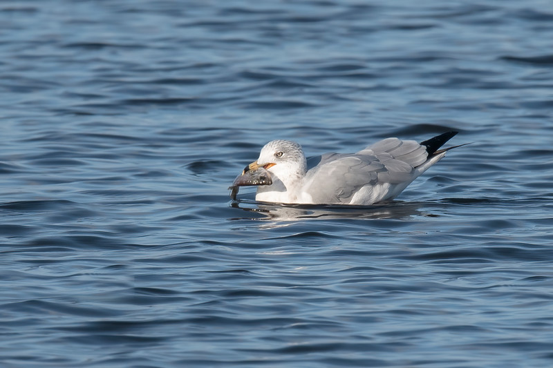 I happened to be at the right spot to see this gull catch a fish.  I think it's a Sunfish.