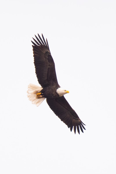 I never pass up a chance to get a flight shot of a Bald Eagle.  This was taken at Centerville Lake in Lino Lakes.