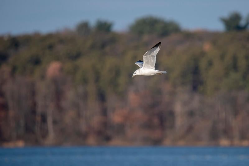 When we are at our apartment in the St. Paul, MN, suburbs, I like to get out and photograph some of the local birds.  The lakes are now frozen over, but two weeks ago they were still open.  There were many Ring-billed Gulls at Vadnais Lake.