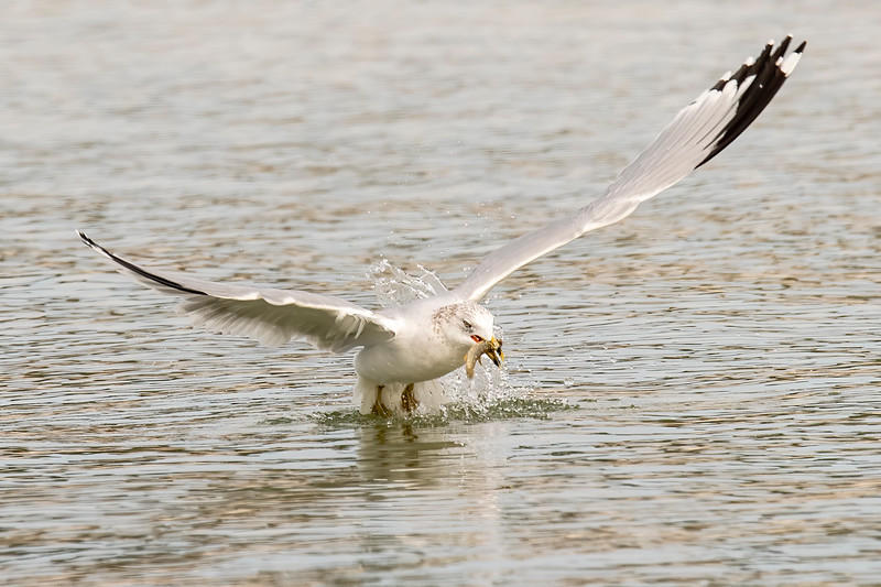 Its powerful wings started to lift the bird out of the water.