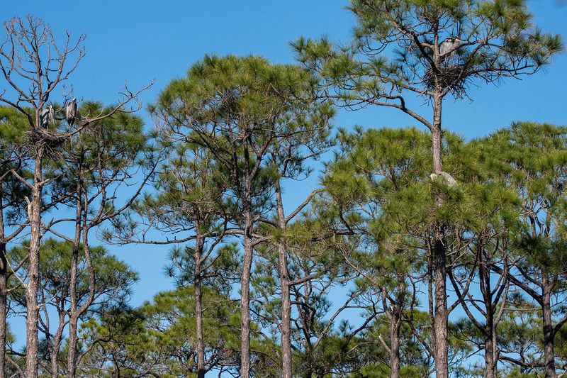 "Last year I posted some photos of two Great Blue Heron nests on St. George Island.  Here's a link to those photos.  <a href=""https://www.earlorfphotos.com/Pictures-of-the-Week/2019-Pictures-of-the-Week/May-12-2019-Great-Blue-Heron-Nest/"">https://www.earlorfphotos.com/Pictures-of-the-Week/2019-Pictures-of-the-Week/May-12-2019-Great-Blue-Heron-Nest/</a> <br /> <br /> This year there are four nests, perhaps the beginning of a nesting colony.  I couldn't get all the nests in one photo but here are three of them.  The tall tree on the right has one nest near the top and one nest about halfway down.  Another nest is at the top of the dead tree on the left (two birds are in the nest).  The fourth nest is further to the right, out of the picture."