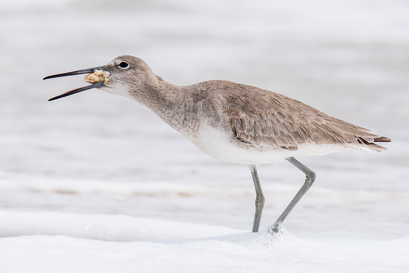 The crab was eventually stuffed into the Willet's mouth.