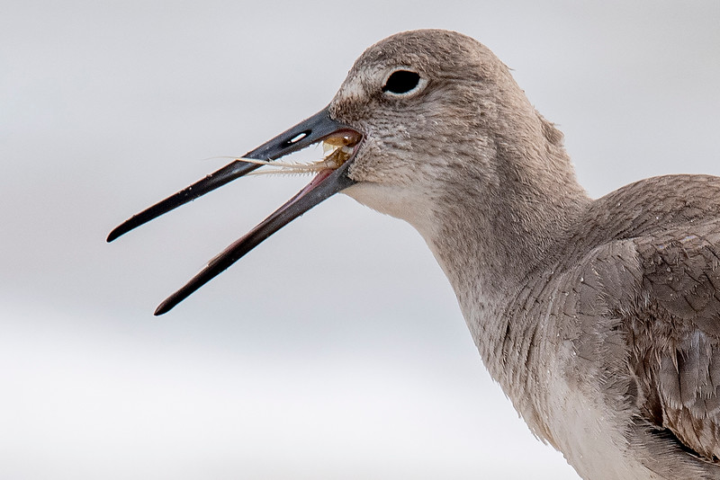 Here's a close-up view of the Willet trying to swallow the crab.