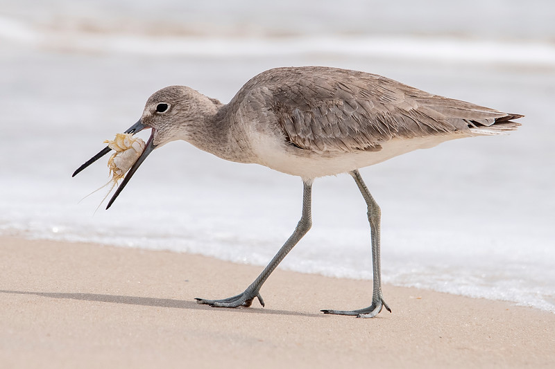 This week I was on the beach at St. George Island and saw a Willet with something in its mouth.  As I got closer, I could see it was a crab.