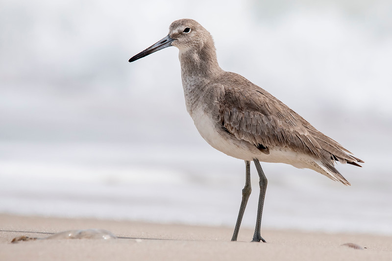 "There is a lump in the Willet's throat, so I think the crab is on its way ""down the hatch."""