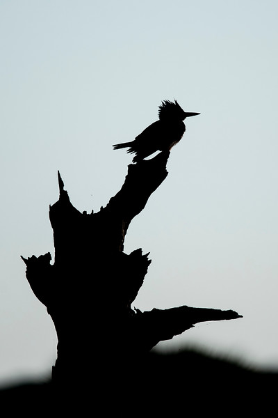 Belted Kingfishers are very skittish and notoriously hard to photograph.  This one cooperated and was perched on a very interesting stump.  By deliberately under exposing this shot, I ended up with a very nice silhouette.