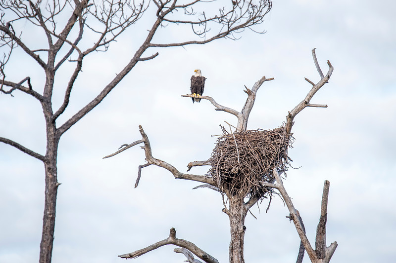 A Bald Eagle builds a large nest and then adds more sticks to it each year.  This one has been used for many years and has become huge.  Here's one of the eagles guarding the nest.