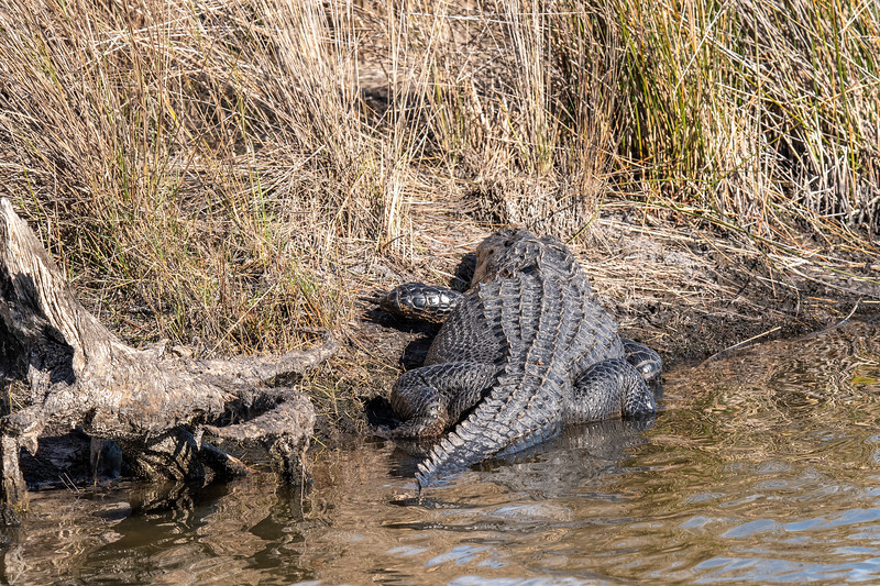 I was surprised that I didn't see many alligators this year at St. Marks.  My photo gallery already includes plenty of Alligator shots taken over the years we've been coming to Florida.  However, I couldn't pass up a shot of this big gator lying in the sun soaking up rays.