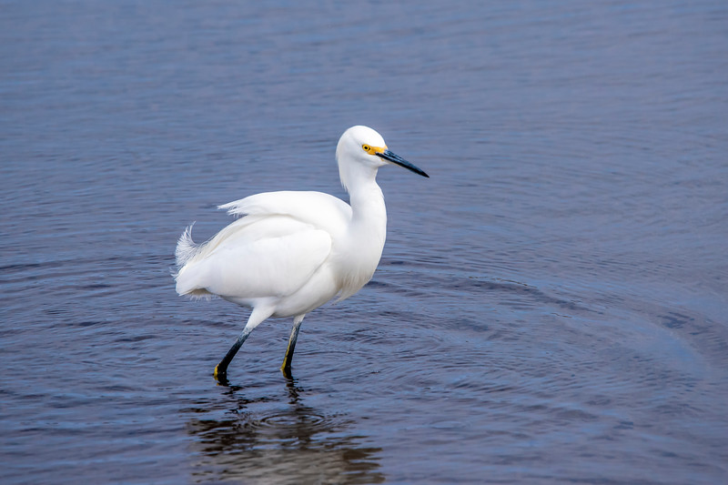 """In the same area was a Snowy Egret.  It's standing in the water so you can't see its yellow feet which are often called its """"golden slippers.""""  You can see a bit of yellow on the back of each leg.  This yellow skin runs along the back of the leg."""
