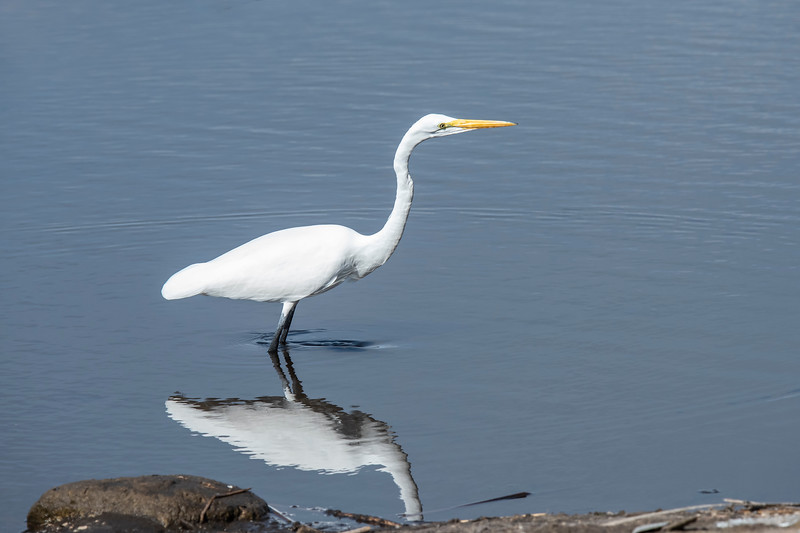 This Great Egret was fishing near the viewing platform where I took the previous photo.