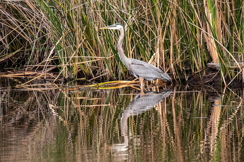 A Great Blue Heron was standing very still near the reeds waiting for a fish to swim by.