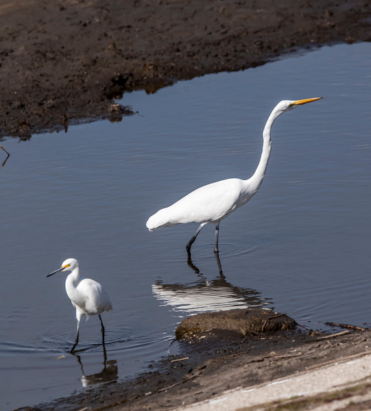 The photos above might lead you to think these two egrets are about the same size.  However, seeing them together like this shows the real difference.  The Snowy Egret is 24 inches tall and the Great Egret is 39 inches tall.  The height difference is somewhat exaggerated because the Snowy has its head tucked in and the Great Egret has its neck stretched out.