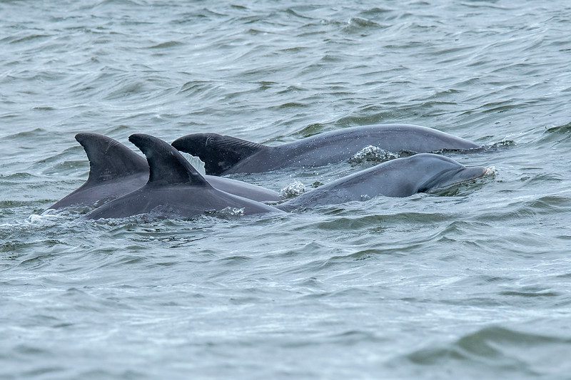There were at least half a dozen dolphins feeding in the channel, but these four individuals seemed to stick together.  Perhaps this is a family group, maybe two adults and two juveniles.