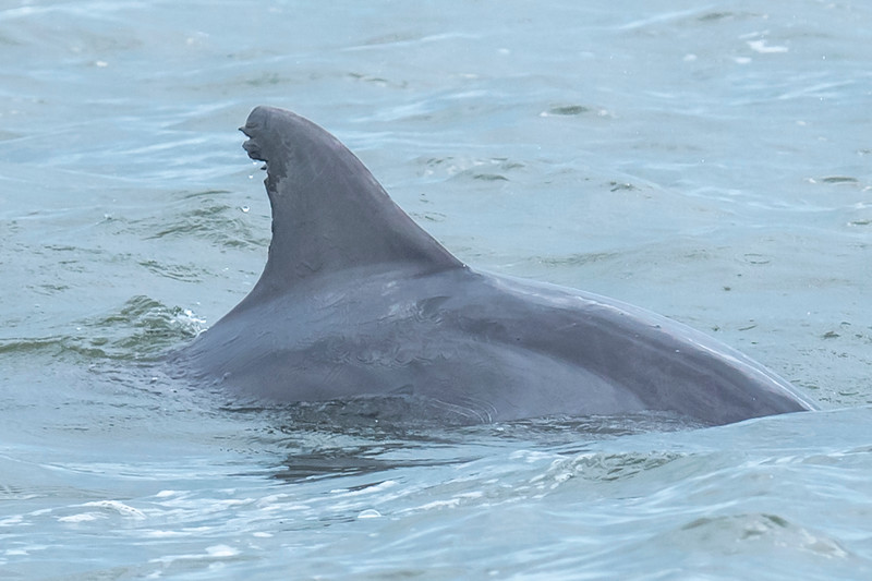 The fin on this dolphin looks pretty ragged.  I'll bet that you could start identifying individual dolphins by the condition of their fins.