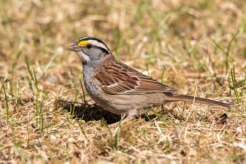 White-throated Sparrows do nest near us.  We still hear them calling but they are not visiting our yard because they are busy feeding insects to their babies.  After the young ones have fledged, we'll see them again under our feeders.