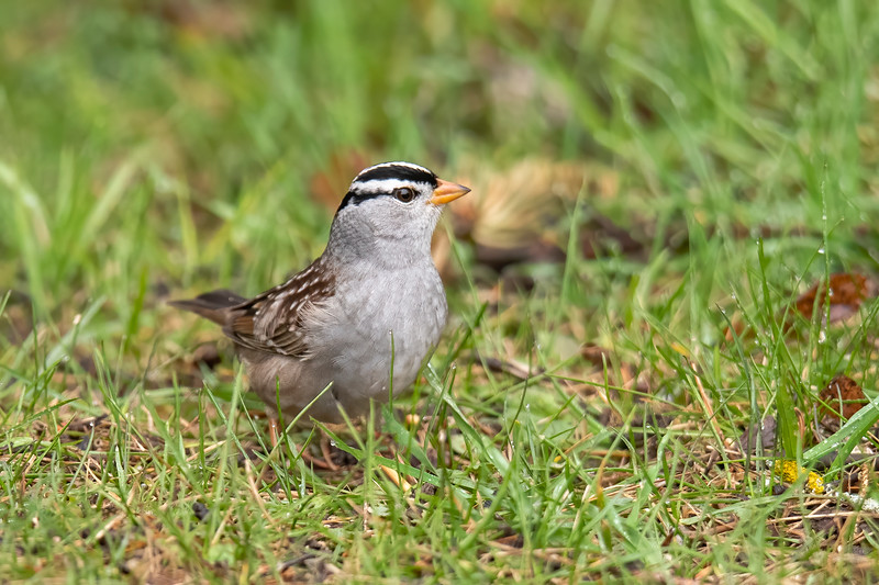 Earlier this spring we had a White-crowned Sparrow stopping in our yard for a few days.  It was only passing through, however.  Its nesting territory is in far northern Canada.