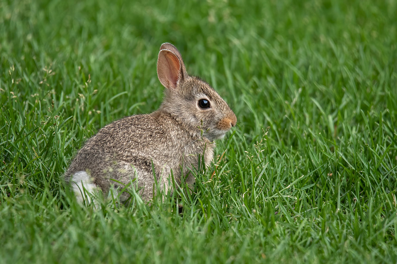 This cute little baby Eastern Cottontail rabbit was right outside our patio door.  It was eating seeds off the grass stems.
