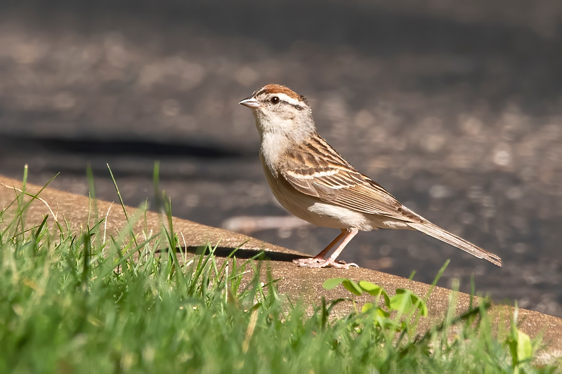 The clear throat, black line through the eye, and rusty cap identify this bird as a chipping Sparrow.