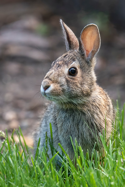 Here's the adult Eastern Cottontail that accompanied the baby rabbit in the previous photo.