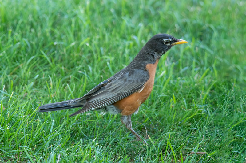 It's no surprise to find an American Robin in an urban area.  This one was hopping around in the grass looking for insects or worms.