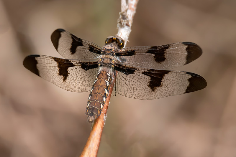 The female Common Whitetail has a striking black pattern on her wings.  Her brown abdomen has white spots along both sides.  Those yellow spots on the back of the head give a menacing look to this insect.