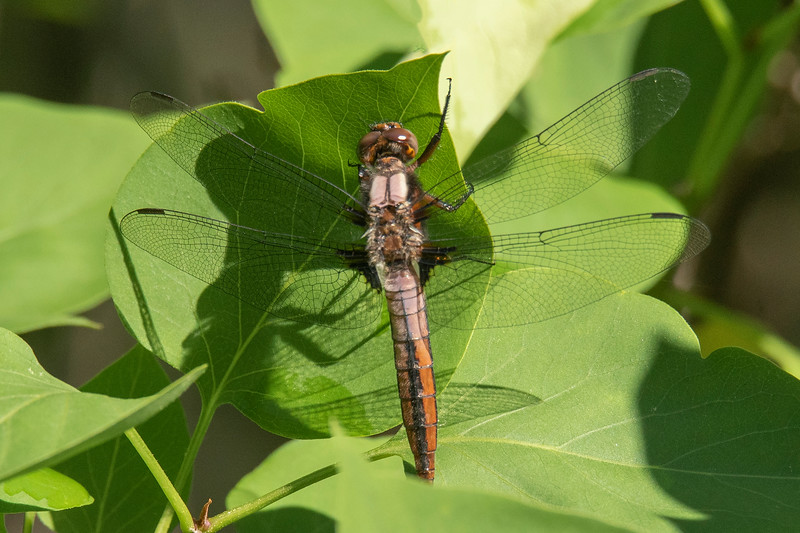 "A juvenile Chalk-fronted Corporal has a tan abdomen with a black stripe down the middle.  The following similarities between this dragonfly and the previous one help us see that they are the same species.  They both have two white ""corporal"" shoulder stripes and they both have triangular dark patches on their hind wings, right next to the body."
