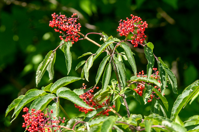 Bright red Elderberries were already found on the bushes.  They are not yet ready to eat, however.  When ripe, they will be dark blue, almost black.