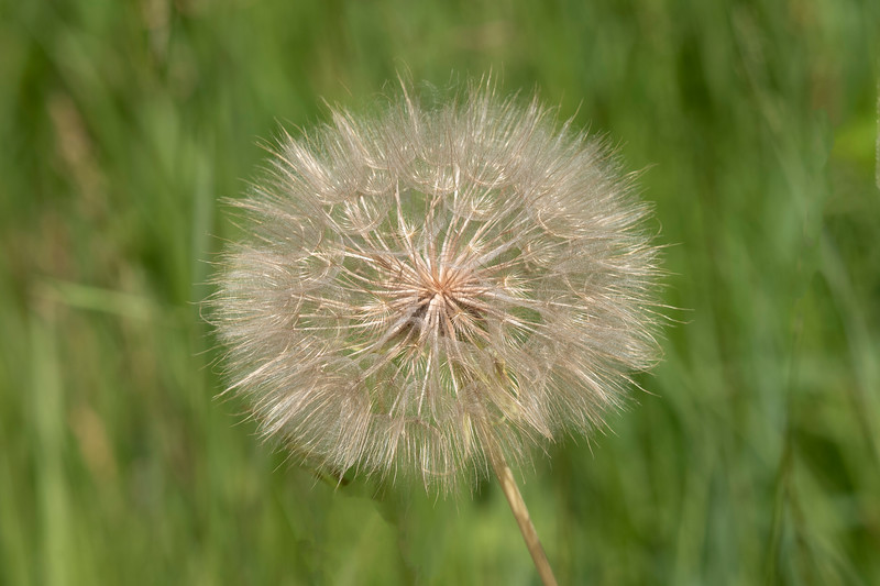 This Goat's Beard seed head looks like a Dandelion, but it's much larger; 3 to 4 inches in diameter.  The yellow flower also resembles a dandelion, but it can be hard to see.  It lasts only part of a day, opening in the morning and closing again by afternoon.