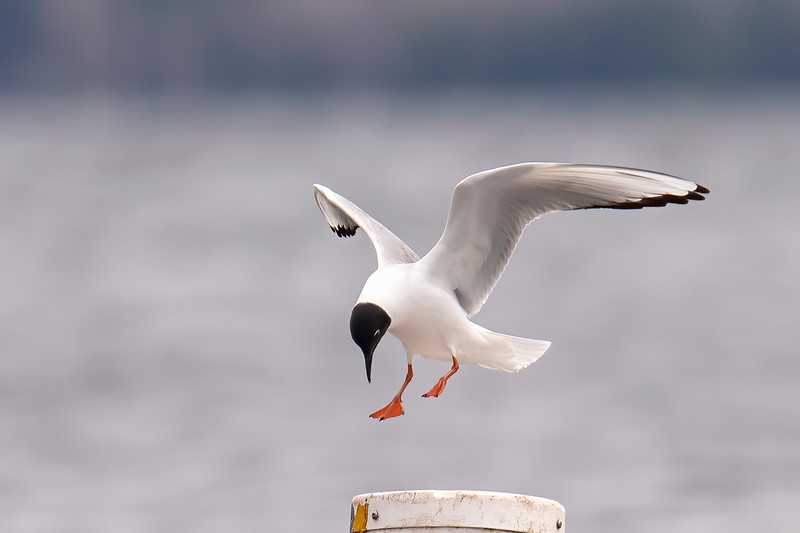 Here's a close up of a Bonaparte's Gull landing on a buoy.  We see them in winter plumage when we are in Florida during January and February.  At that time, they do not have the black hood, just a small dark spot behind the ear.