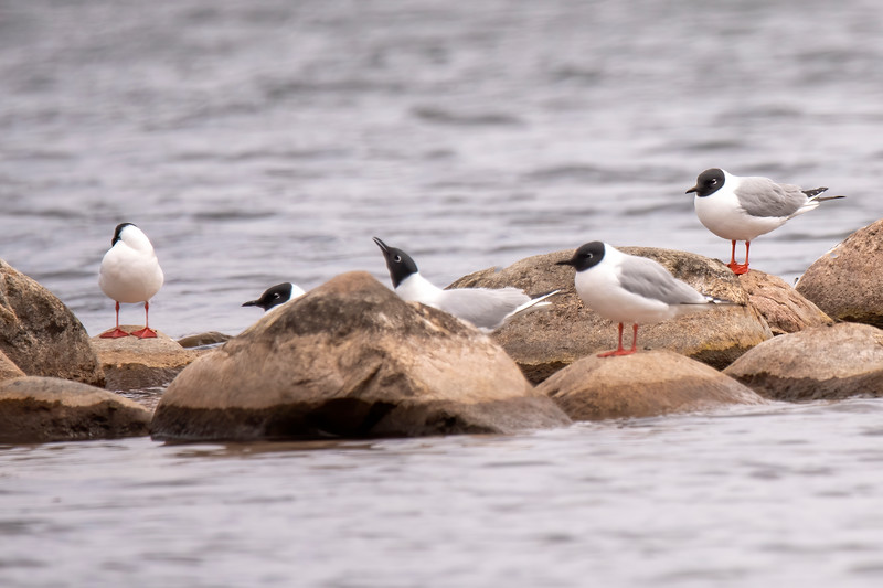 Here are some notable bird sightings from this spring.  On May 10, these Bonaparte's Gulls were at the Trout Lake boat landing in Coleraine, MN.  This was only a stopover point for them because they nest in Canada and Alaska.  Unlike most gulls, these birds build their nests in trees.  At 13.5 inches, Bonaparte's Gulls are one of the smallest gull species found in North America.