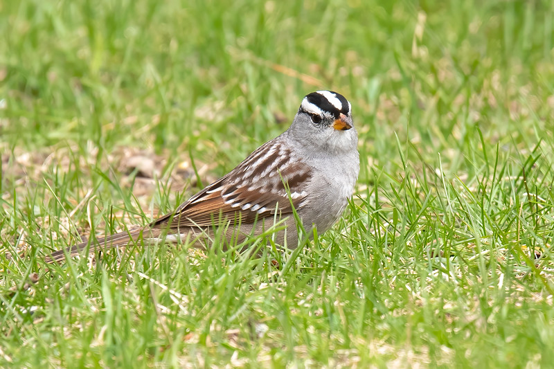 This White-crowned Sparrow was also just passing through.  We usually see one or two of them in our yard as they migrate to the far northern reaches of Canada.  I think this is an elegant looking sparrow with its black and white striped head; gray face, neck, and chest; and black-tipped beak.