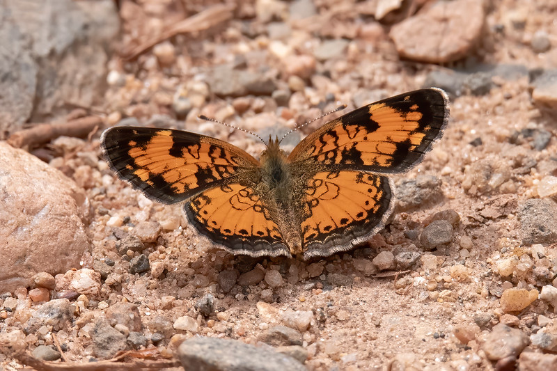 Here are some butterflies I've photographed this spring.  This is a Northern Crescent.  It is a small butterfly with a wingspan of 1 to 1½ inches.