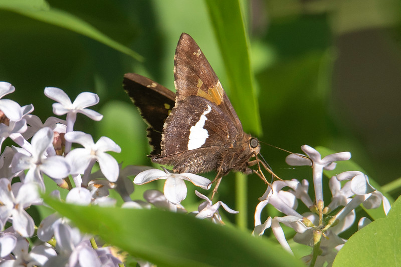 The underside of its wing shows how the Silver-spotted Skipper got its name.