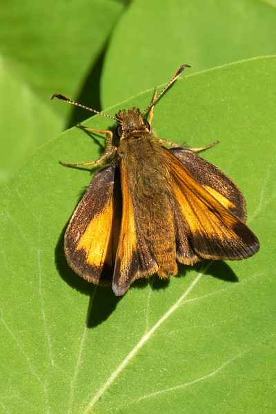 There is a distinct group of butterflies called the Skippers.  They are identified by the spoon-shaped ends of their antennae.  This one is a Hobomok Skipper. It is resting with its hind wings horizontal and forewings at a 45-degree angle.  This is a typical resting position for many Skippers.