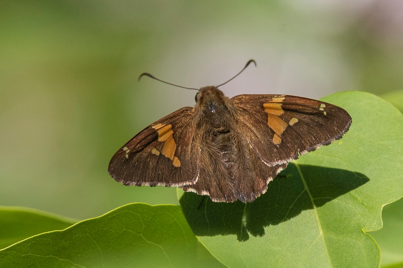 The largest skipper in our area is the Silver-spotted Skipper.  It has a wingspan of 1¾ to 2½ inches.  This photo clearly shows the spoon-shaped ends of the antennae.