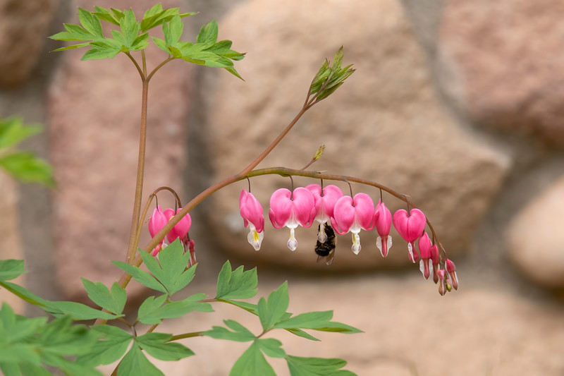 Last week I showed you some of the early blooming wildflowers in our yard.  This week I have some photos of flowers that are not wild.  Last year we added more landscaping around our house.  This included several Bleeding Heart plants which are now responding with lots of flower stalks like this one.  As you can see, bees also like these flowers.