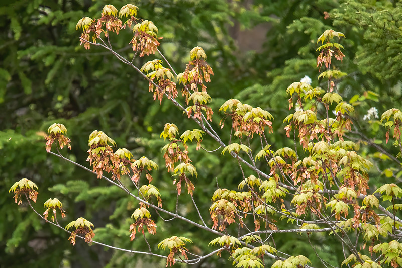 OK, this photo doesn't really show flowers.  I just thought the green Maple leaves and the brown seeds hanging below them made an interesting photo.